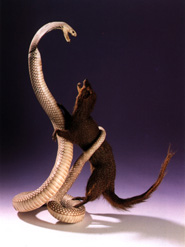 Pitone museo missionario cinese for Cervone serpente